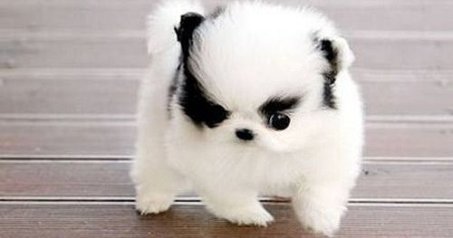 Photo Cute Animals Cute Baby Animals Pomsky Puppies