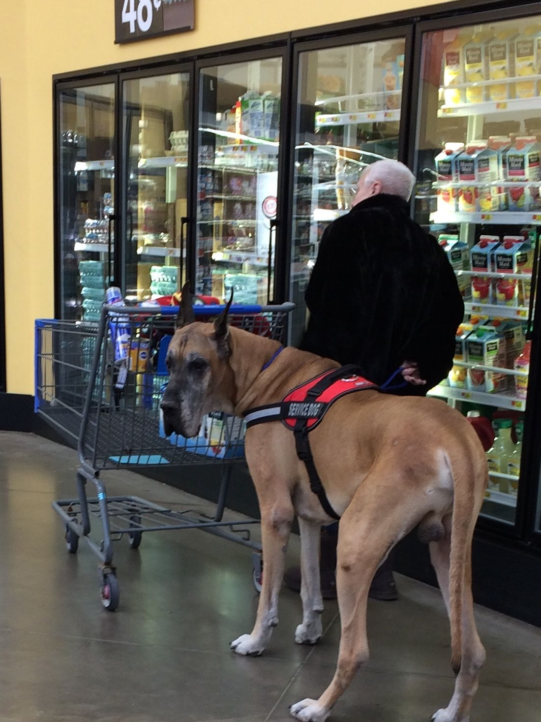I need this service dog Great dane dogs, Service dogs