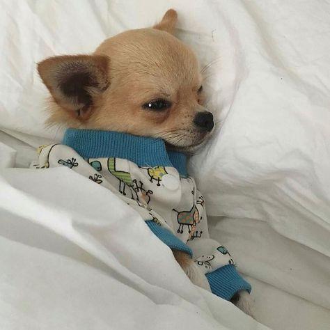 2 202 Likes 25 Kommentare Chihuahua Chihuahuastagrams Auf Instagram Chi Auf Chi Chihuahua Chihuahuastagram Chihuahua Welpen Chihuahua Welpen