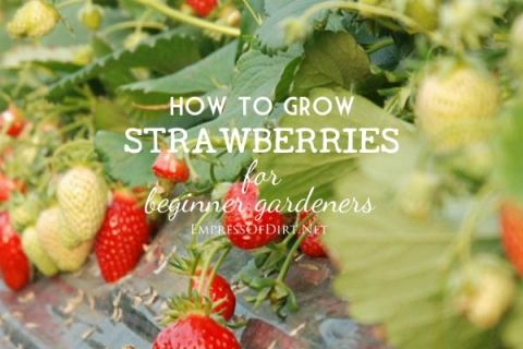This is for beginner gardeners who want to grow strawberries in the home garden. The most successful food growing in the home garden often starts with a love of something delicious—in this case, fresh, sweet, over-the-moon, fabulous strawberries, and the irrepressible desire to have more!