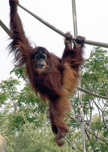 Sumatran Orangutan Orangutan Sumatran Orangutan Indianapolis Zoo