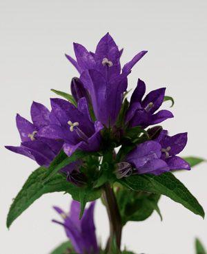Campanula Bellefleur™ Blue | Garden | Pinterest | Flowers ...
