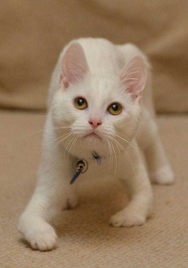 Walking Meowracle Rescue Kitten Harvey Learns To Walk Despite