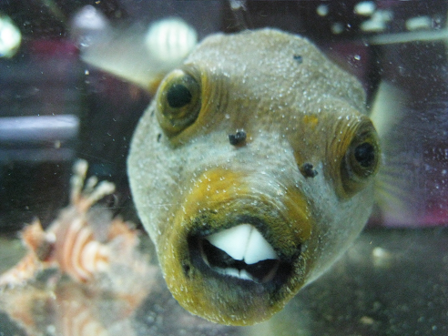 A dog faced fish and others fish dog and ocean life for Dog face puffer fish