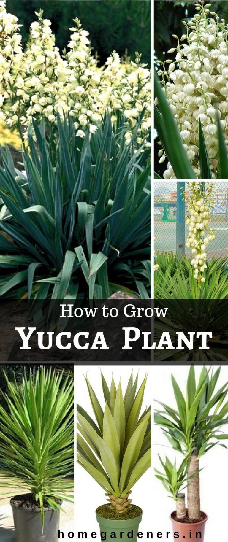 Outdoor Yucca Plant Care.Yucca Plants Caring Why Do People Think Yucca Plant Is A