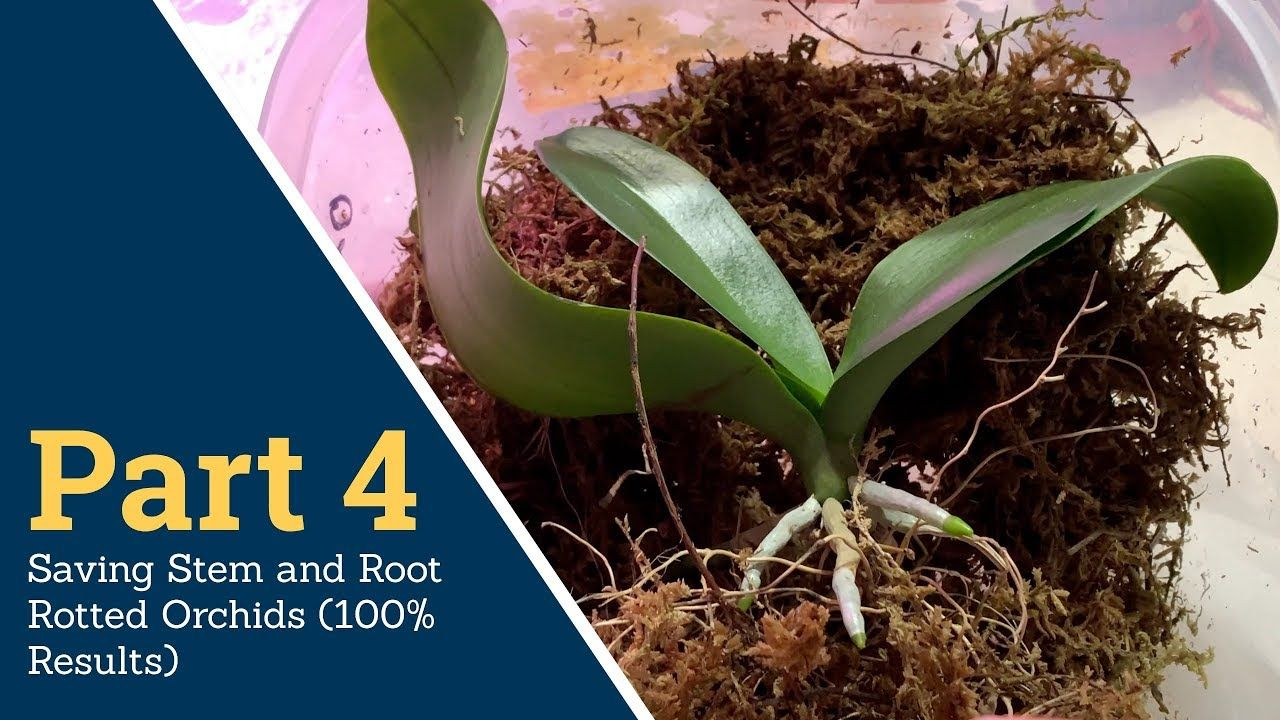 Part 4 Saving Stem And Root Rotted Orchids 100 Results With Excellent Way Of Planting Youtube Orchids Plants Growing Orchids