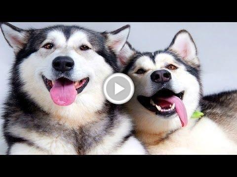Husky Videos -Beautiful Dog Videos  http://vid.staged.com/0NTs
