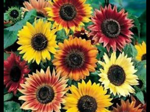 How To Grow Sunflower From Seeds Different Kinds Of Sunflower Seeds Urdu Hindi Heirloom Seeds Growing Sunflowers Spring Plants