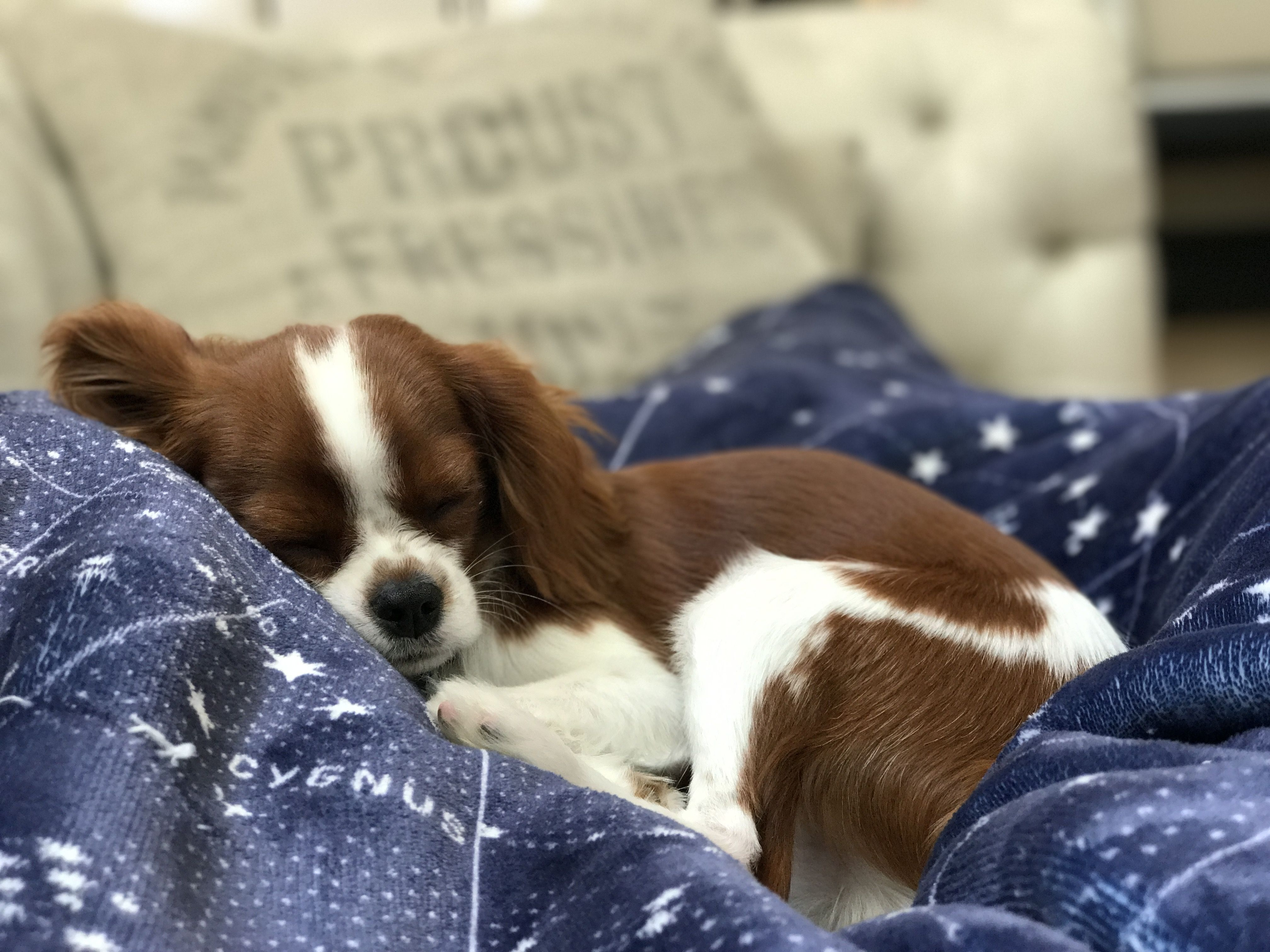 Download Cavalier Brown Adorable Dog - 7f07fe957b44f3652032e68bc0d670c2  Pictures_92237  .jpg
