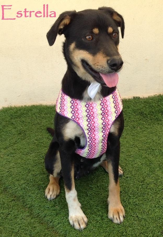 Estrella Is An Adoptable Labrador Retriever Searching For A Forever Family Near San Diego Ca Use Petfi Dog Adoption Labrador Retriever Mix Labrador Retriever