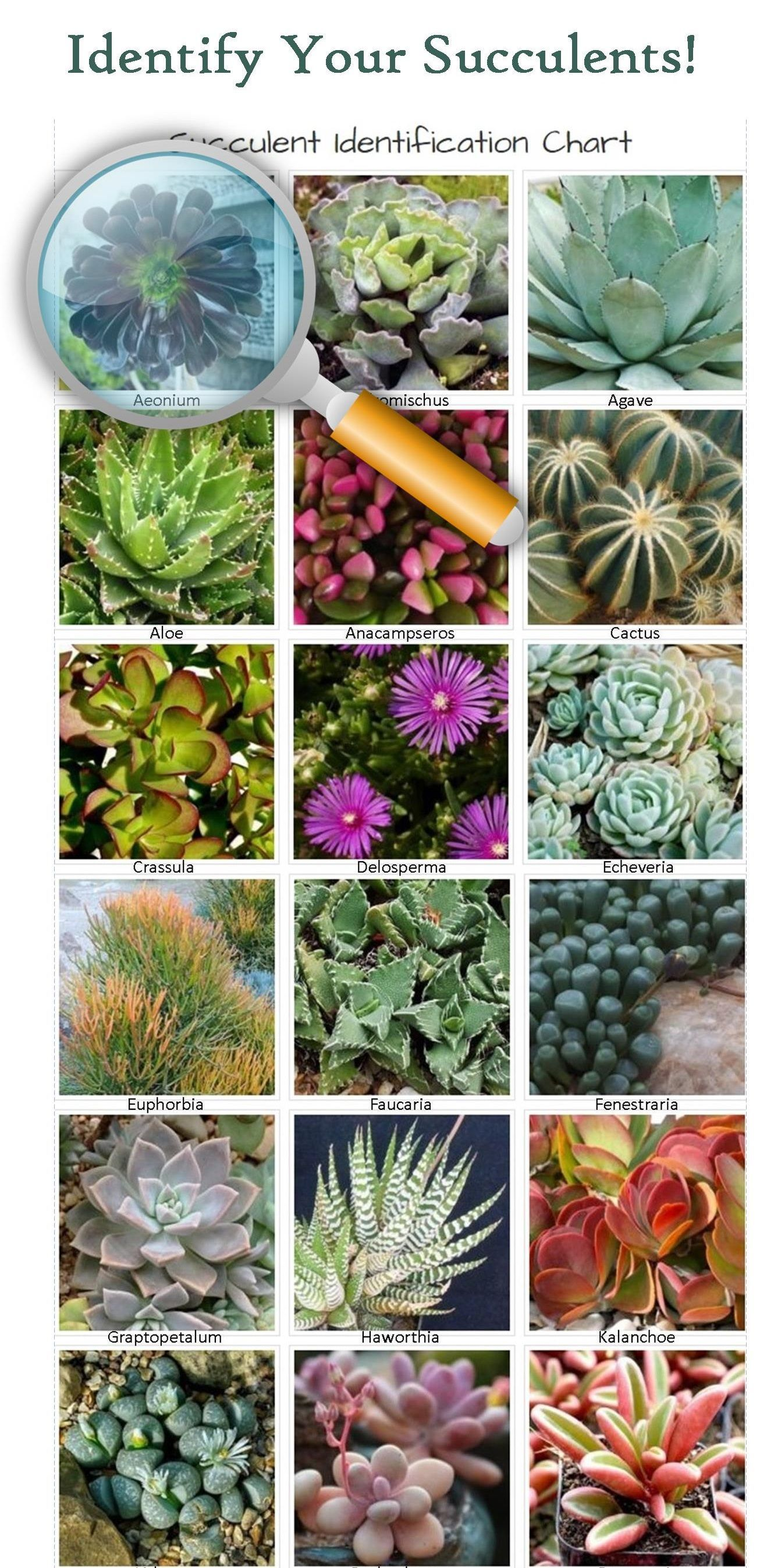 Identifying Types Of Succulents With Pictures The Succulent Eclectic Identifying Succulents Types Of Succulents Succulents
