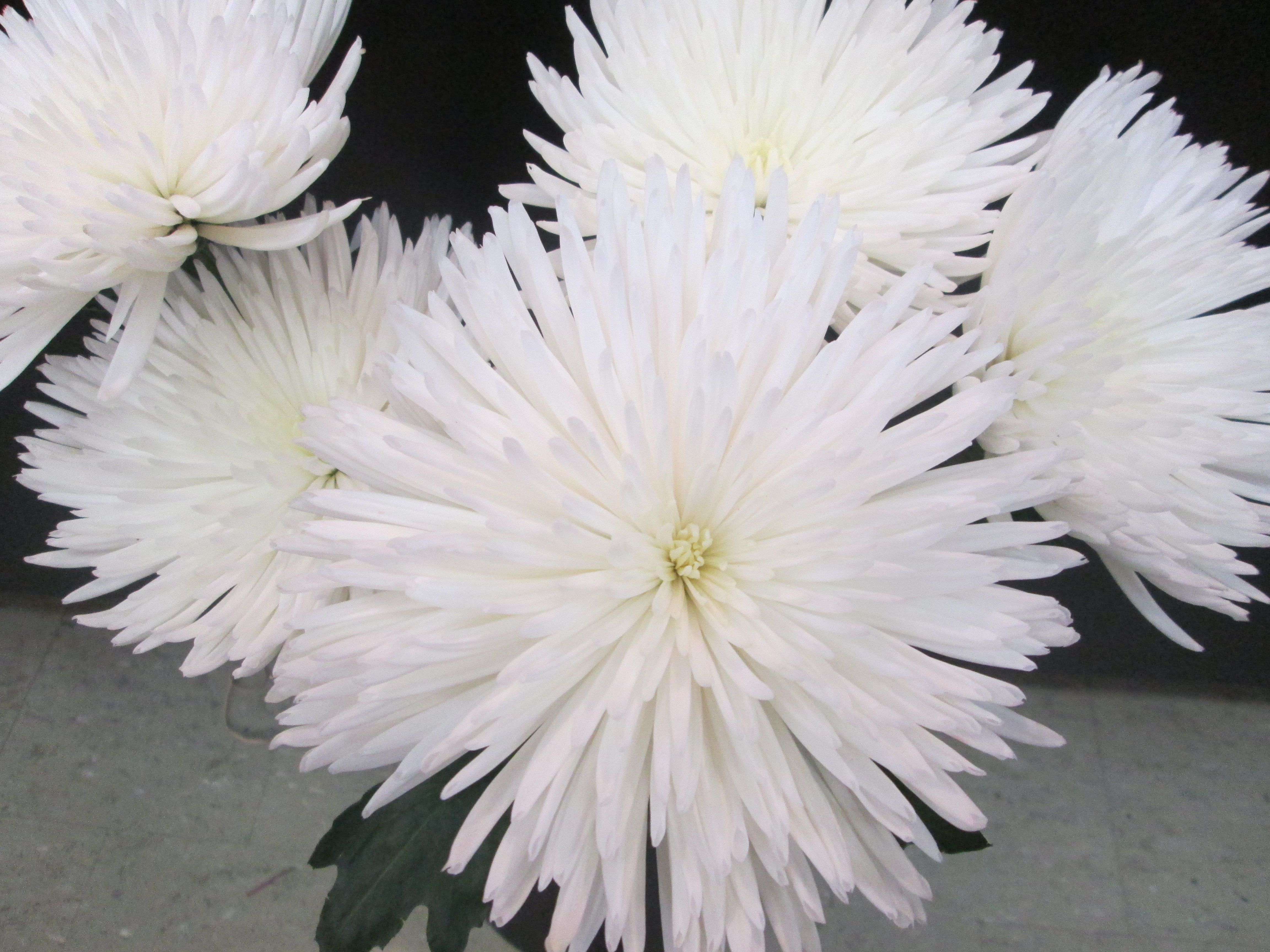 White Fuji Mums Google Search Dandelion Flower Flowers Mums Flowers