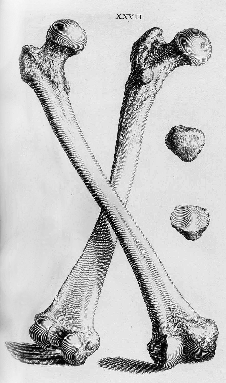 Corporisfabrica The Human Femur Is The Longest Strongest And