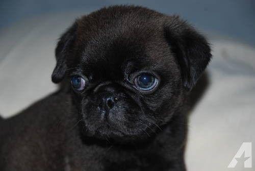 Rare Silver Black Male Akc Pug Puppy Black Pug Puppies Pugs
