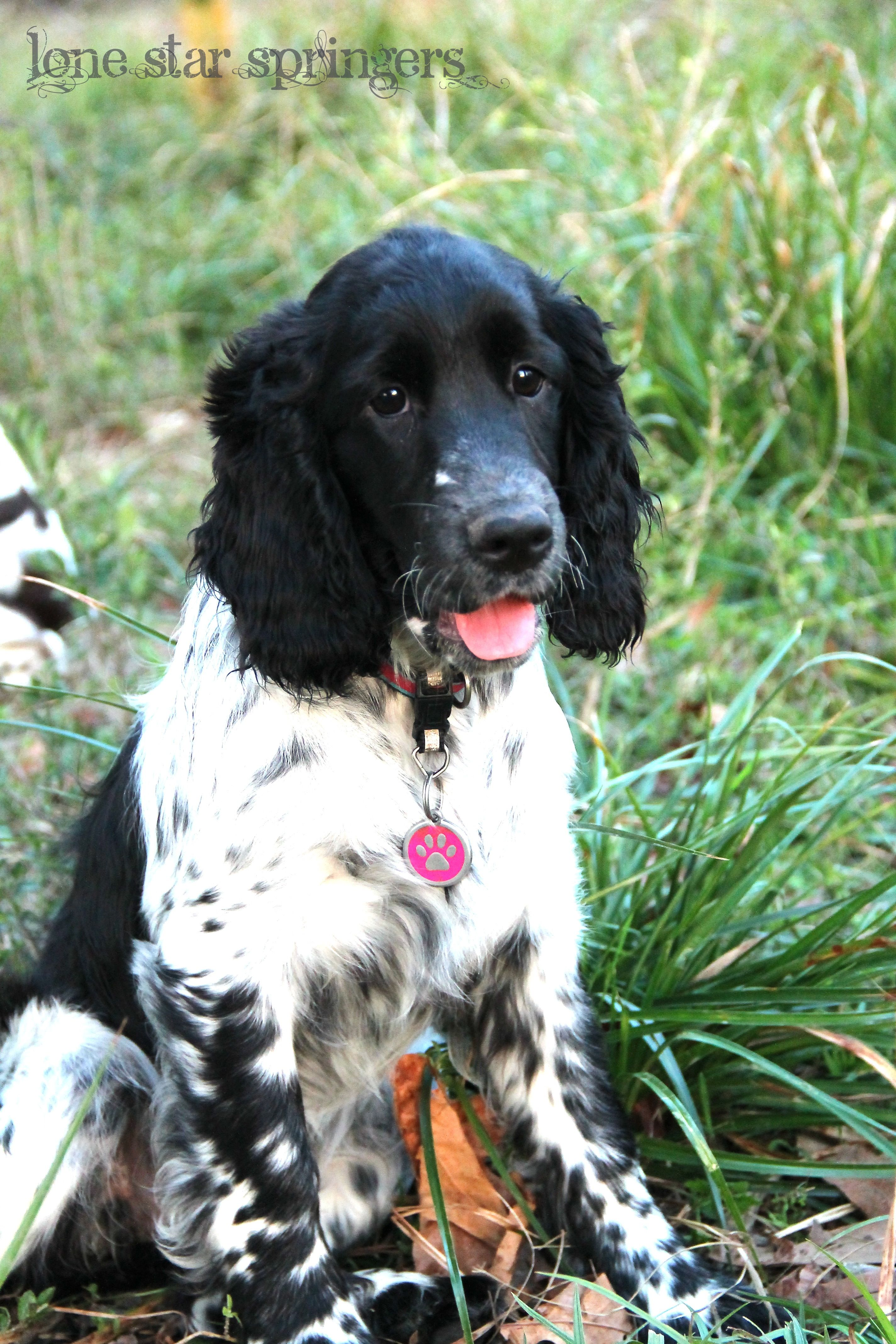 Dory One Of Our European English Springer Spaniels Love The Freckles 3 Lone Star Springers Springer Spaniel Spaniel Dog English Springer Spaniel