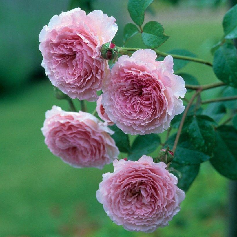 james galway englische kletterrosen englische rosen. Black Bedroom Furniture Sets. Home Design Ideas