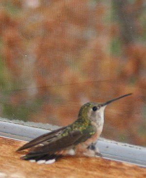How To Get A Trapped Hummingbird Out Of The House Safely Humming Bird Feeders Hummingbird Humminbird