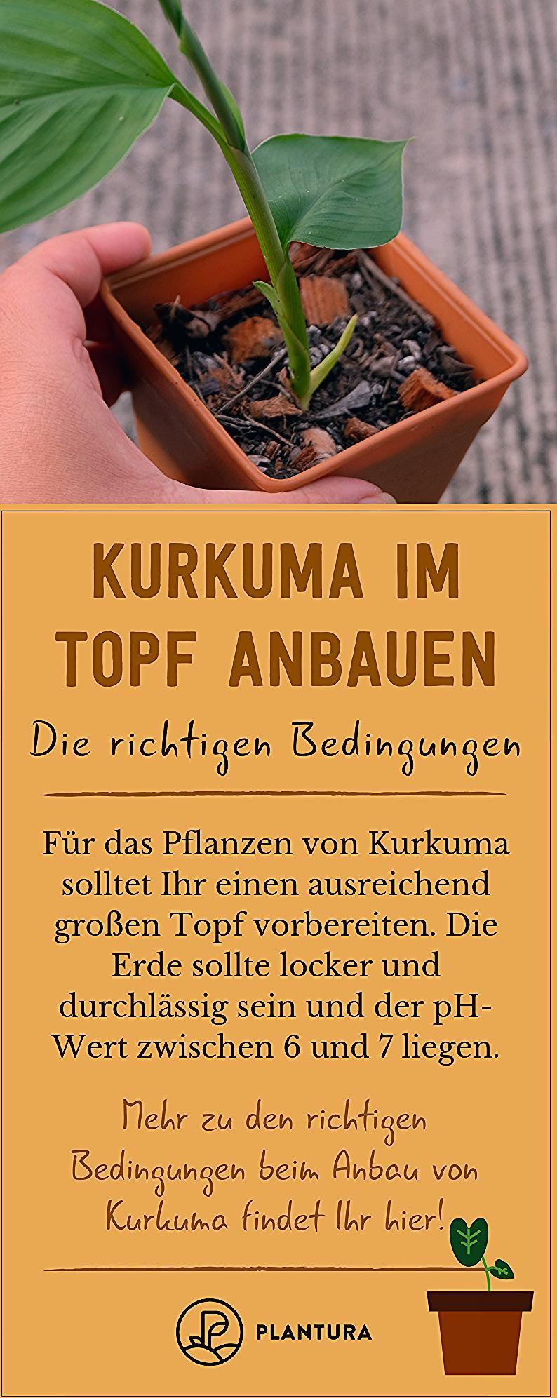Photo of Kurkuma im Topf anbauen: 5 Tipps für die erfolgreiche Ernte – Plantura