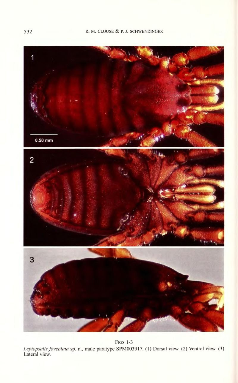Leptopsalis foveolata sp n., a new species of Stylocellidae from Thailand that displays a novel morphological feature in the suborder Cyphophthalmi (Arachnida, Opiliones) - BioStor