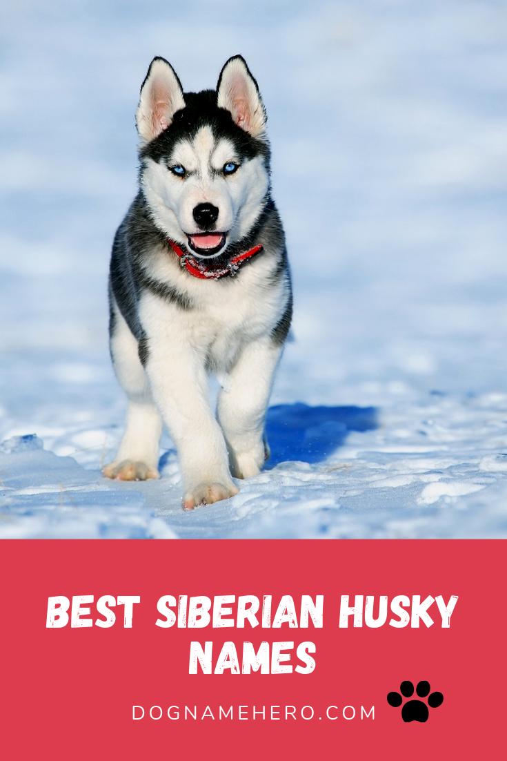 Best Husky Names 130 Husky Dog Names Dog Name Hero Siberian Husky Husky Husky Breeds