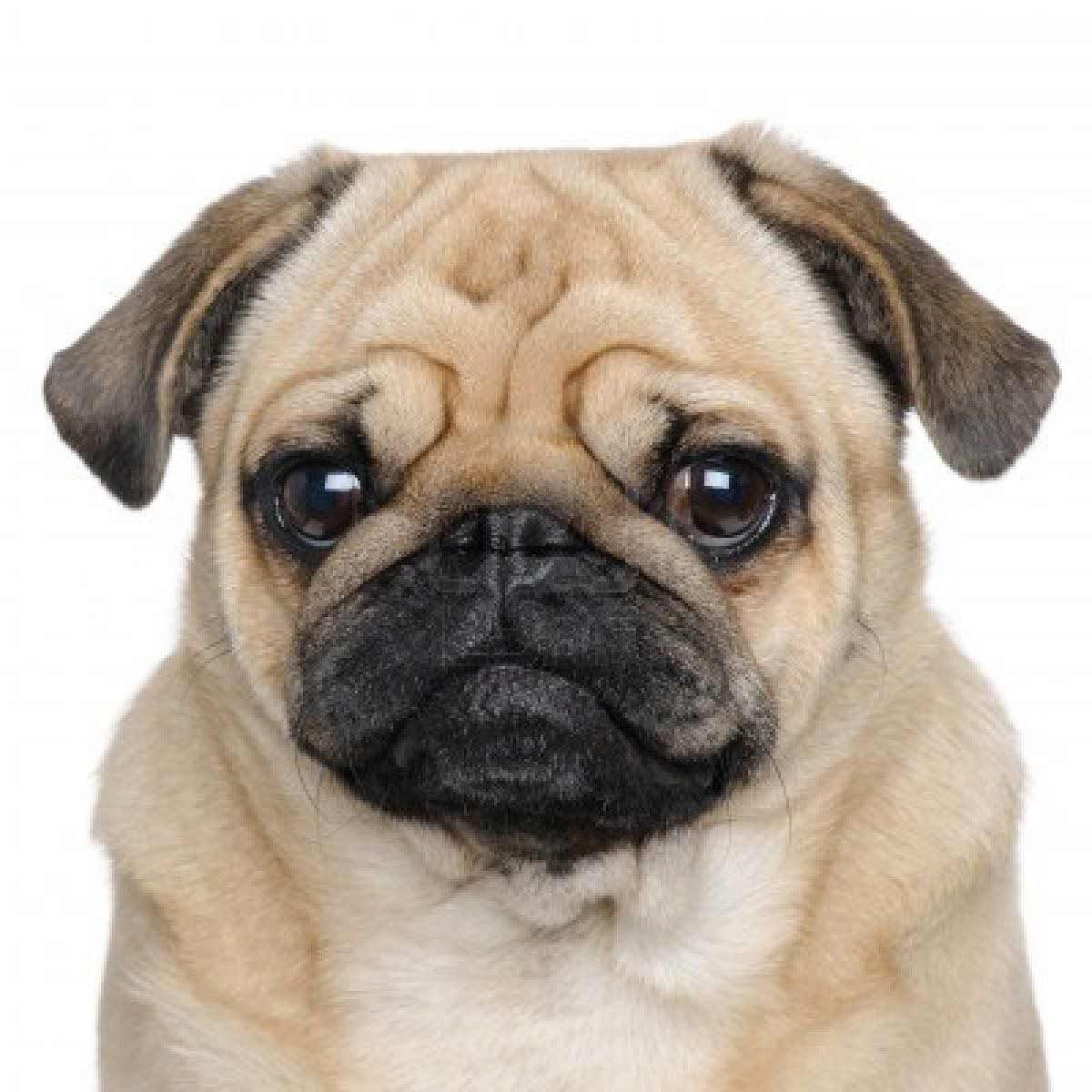 Pug Dog Breed Pug Dog Dog Breeds Pugs