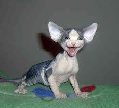 sphinx kitten - Google Search