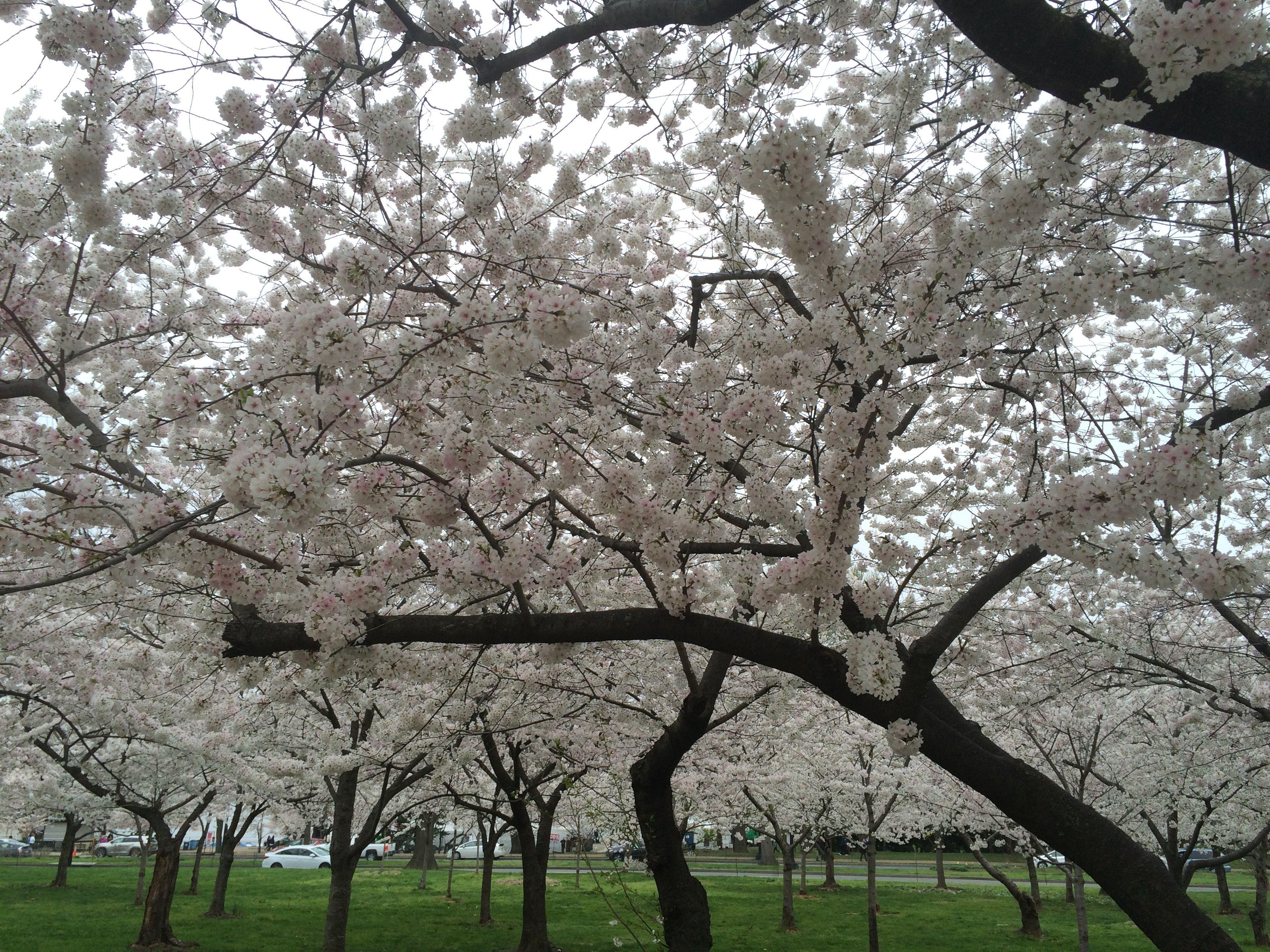 Field Of Cherry Blossom Trees In Washington Dc Eslkidz Cherryblossom Spring Washingtondc Cherry Blossom Tree Spring Tree