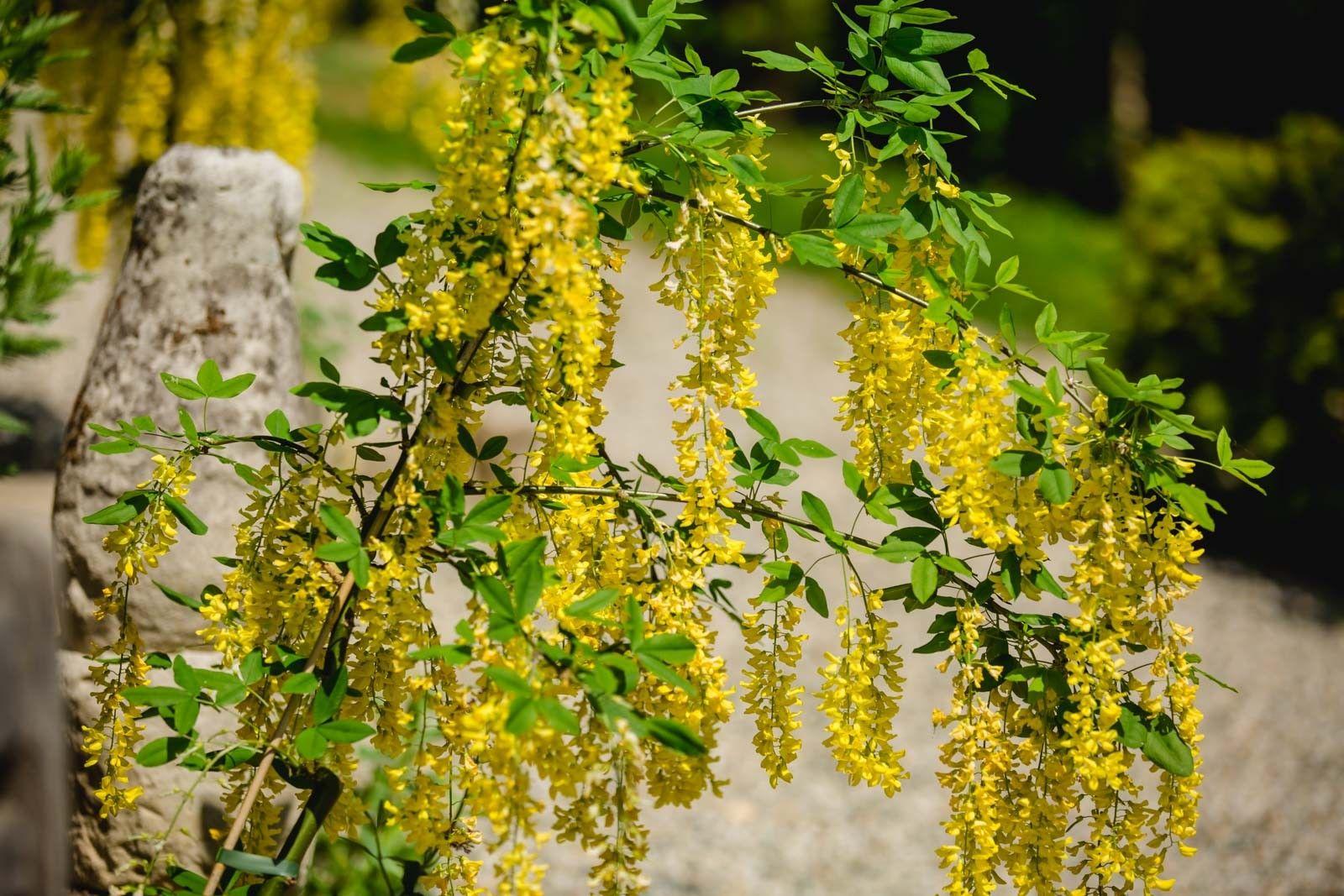 Goldregen Zypressen Mediterraner Garten Gold