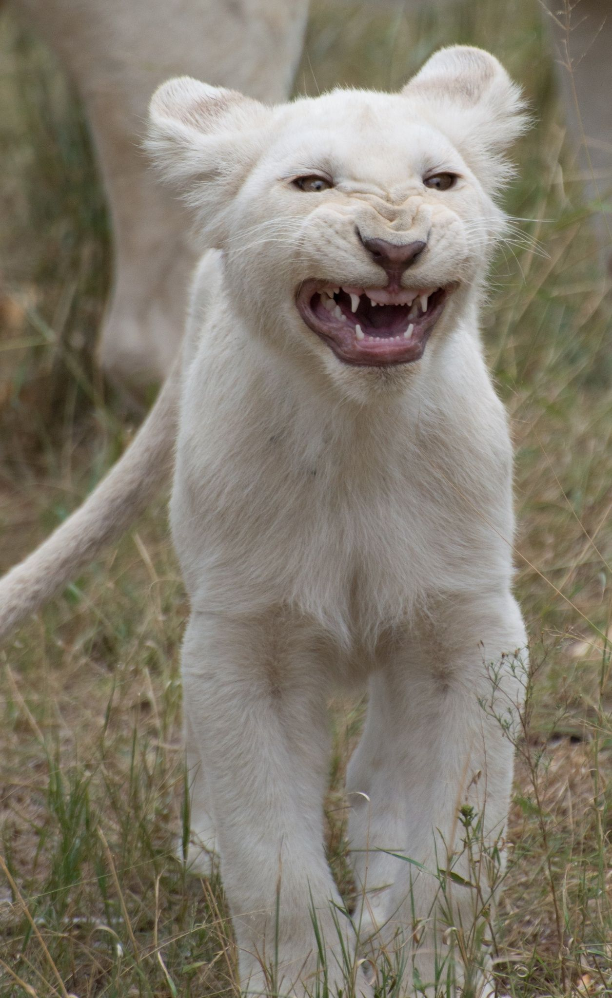 Pin on WHITE LION AND OTHER WHITE ANIMALS