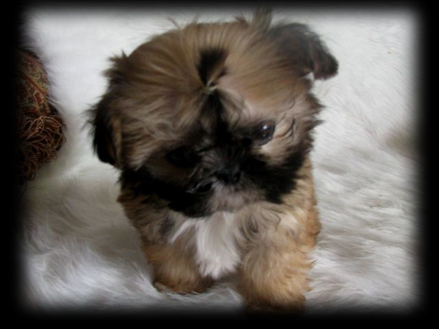 Sweet Tooth Imperial Shih Tzus Of Salt Lake City Utah Breeder Of Chinese Imperial Shih Tzu Imperials Teacup Toy Minia Cute Animals Shih Tzu Puppy Puppies
