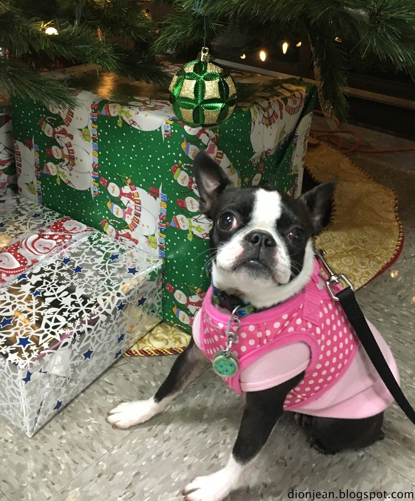 Sinead the Boston terrier is ready for Santa