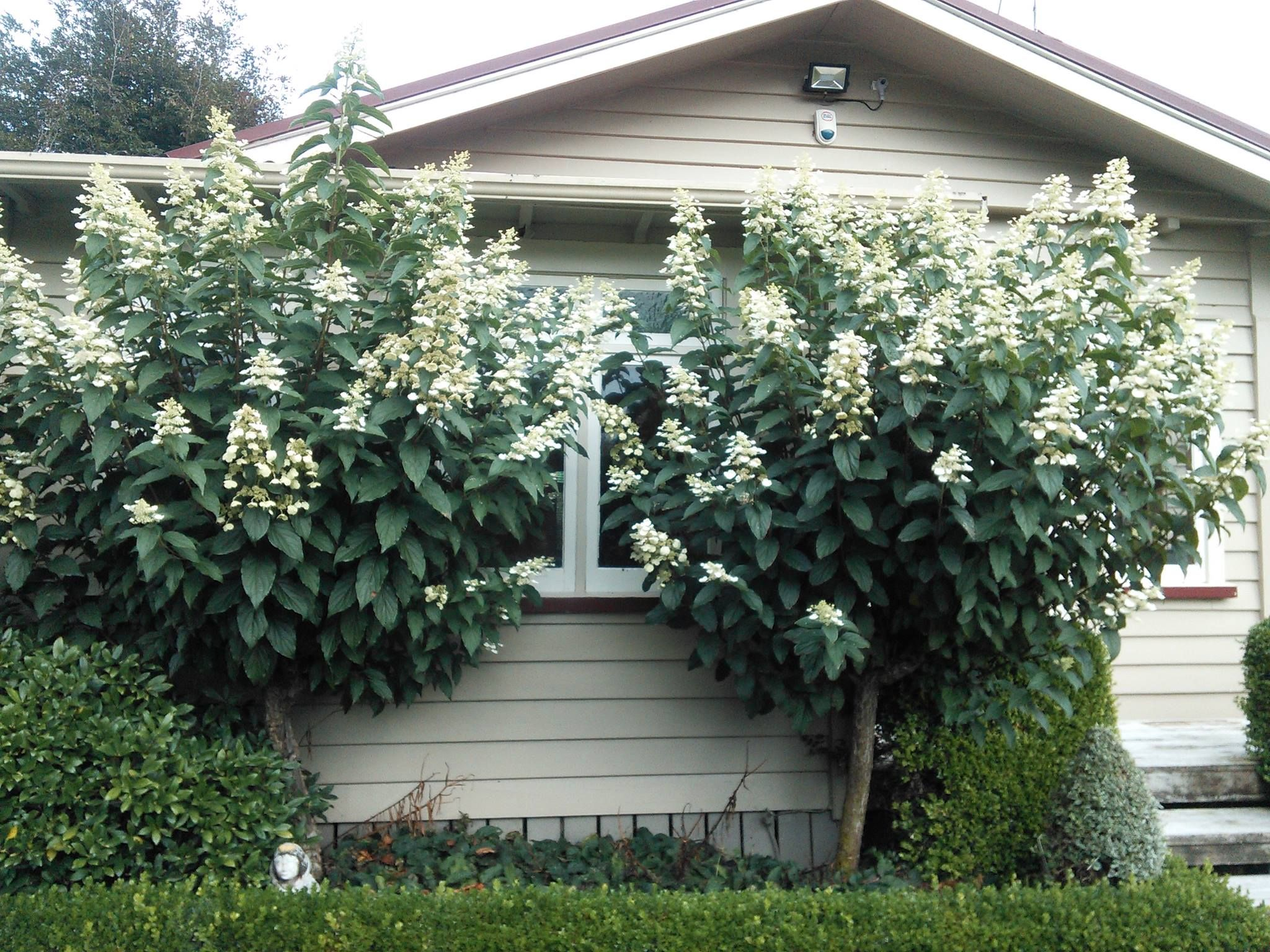 Here Are Some Other Examples Of Hydrangea Paniculata These Hydrangeas Have Such A Wonderful Presence In The Garden Pani Hydrangea Paniculata Hydrangea Plants