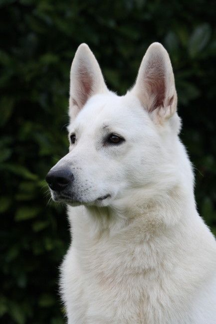Witte Herder Pups Van Zwitserse Witte Herder Specialist Germanshepherd Weisser Schaferhund Hunde Lustige Hunde