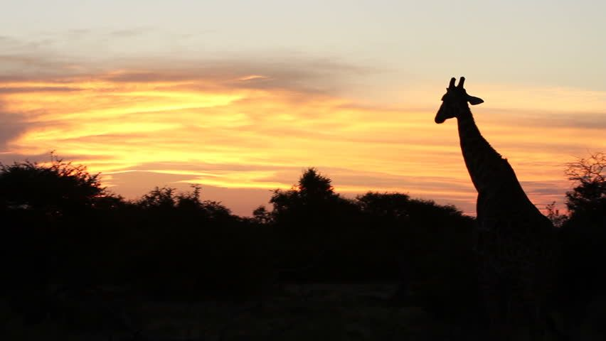 Giraffe silhouetted against evening sky - HD stock video clip