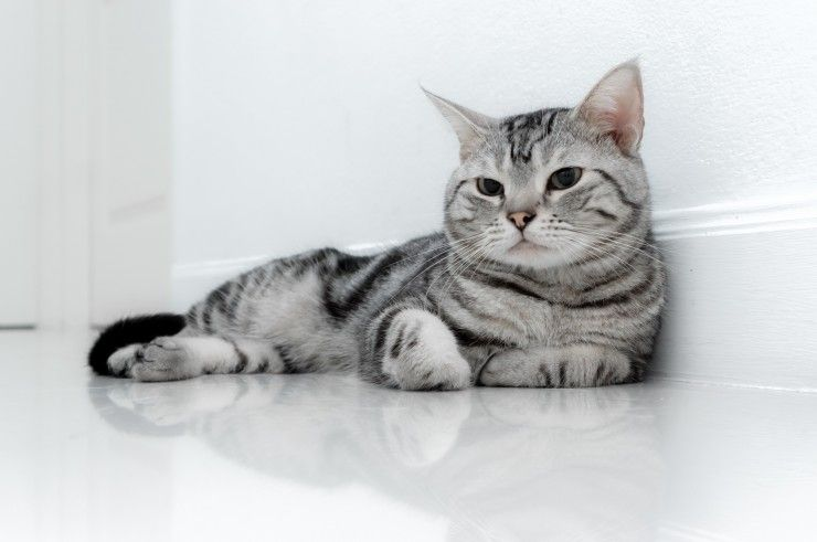 Tabby American Wirehair. 1 Galleon.   Magical Menagerie   Pinterest ...