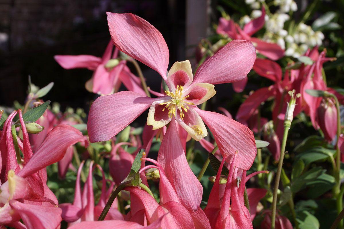 Blütenpracht in Rosa: die Akelei ist geeignet für den # ...