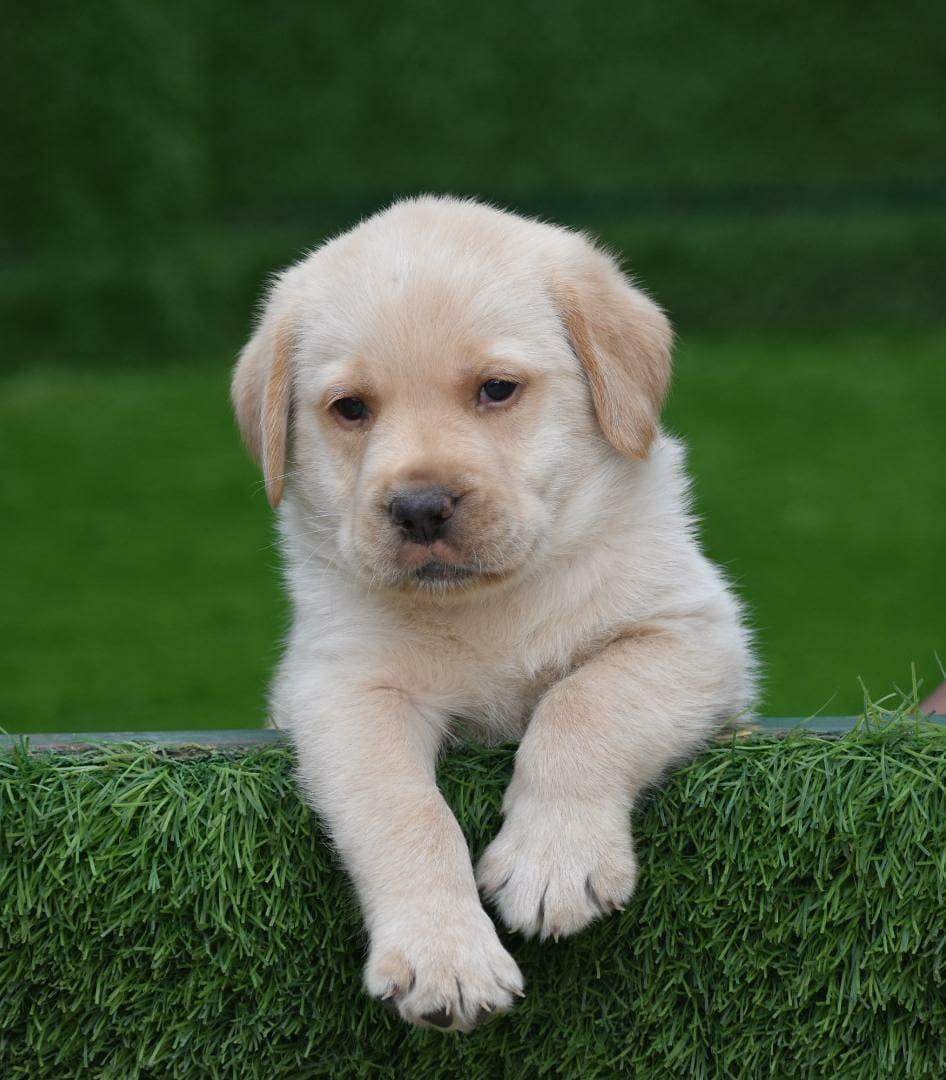 Pin On Golden Labrador Puppy