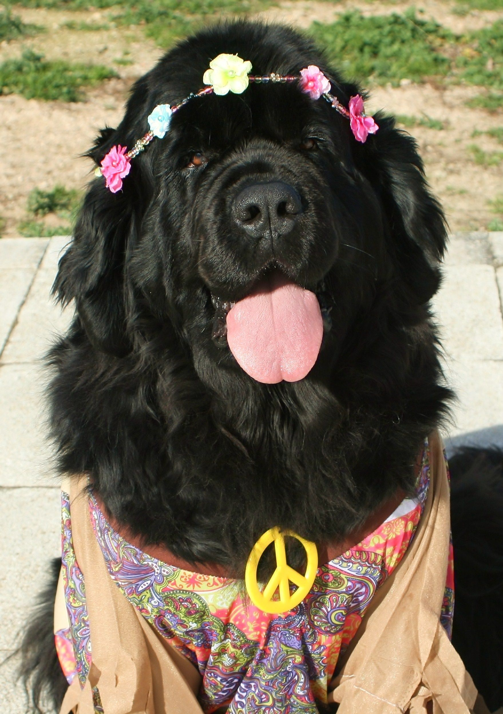 Pin By Erica Carlberg On Pets Big Dog Costumes Big Dogs Dogs