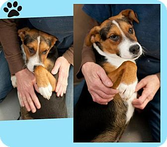 Beagle Mix Dog For Adoption In Mineral Wells Texas Pretzel