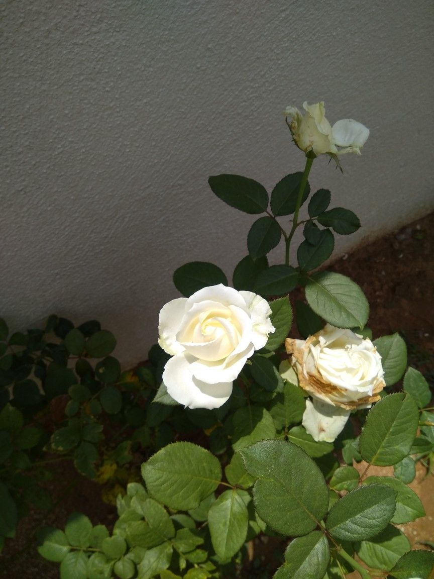 Symbol of peace white rose roses flowers and plants pinterest symbol of peace white rose buycottarizona Choice Image