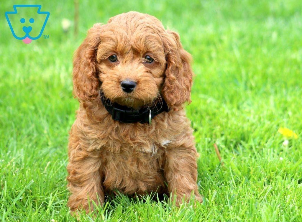 Logan Cockapoo Puppies Cockapoo Puppies For Sale Puppies For Sale