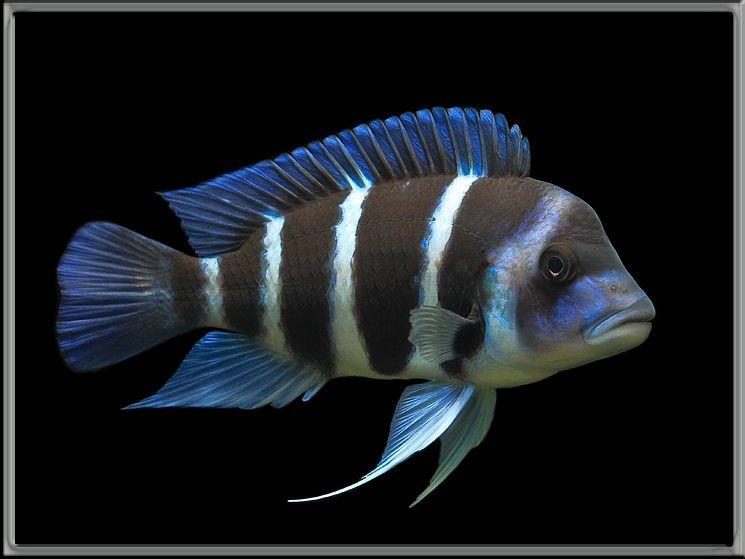 656a68617274895 Jpg 745 559 African Cichlid Aquarium Aquarium Fish Cichlid Aquarium