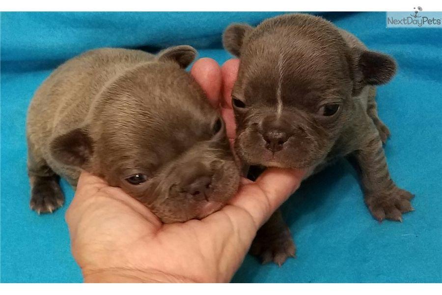 French Bulldog Puppy For Sale Near Houston Texas 27ee513f Ea61
