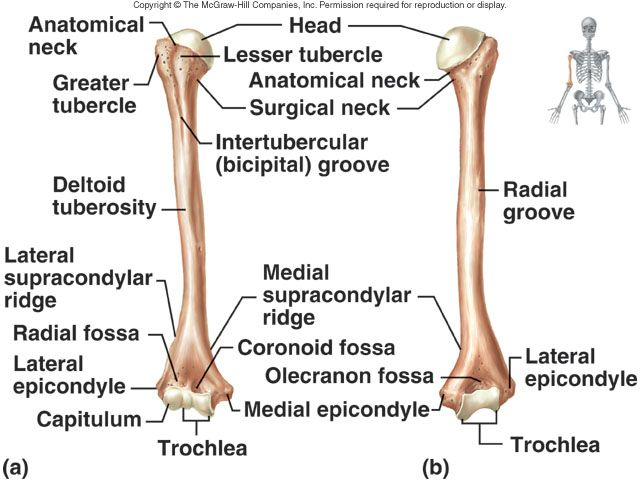 Humerus Attachments Lecture 10 Axial Skeleton Ii And Appendicular
