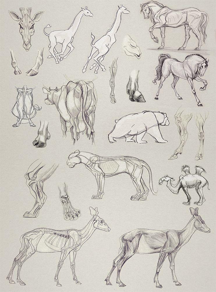 Animal Anatomy Laia Amela little | Animal drawings, Animal ...