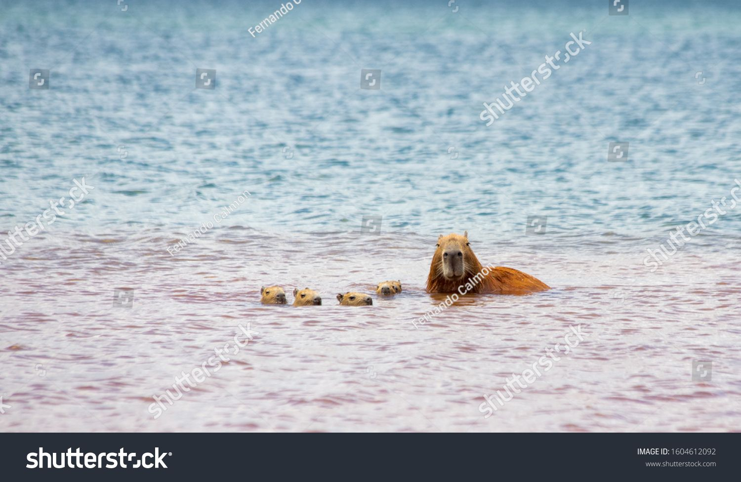 The mother capybara and her five cubs swimming in the waters of Lake Parano¨¢ in Brasilia, Brazil. The capybara is the largest rodent in the world. Species Hydrochoerus hydrochaeris. Wildlife. Cerrado #Ad , #SPONSORED, #Lake#waters#Brasilia#Parano