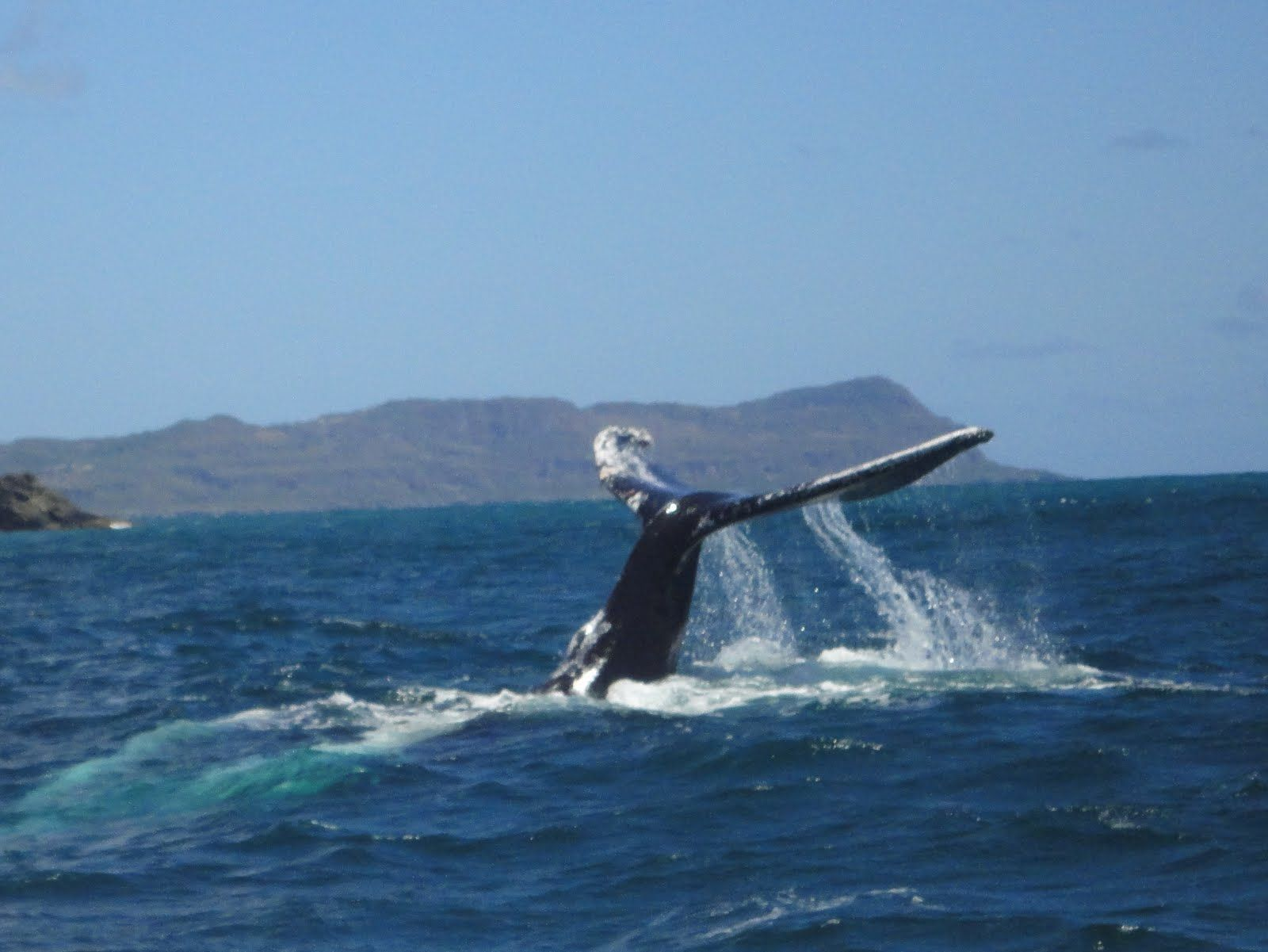 Samana, Dominican Republic is one of the best places the Humpback whales come to birth during the winter.