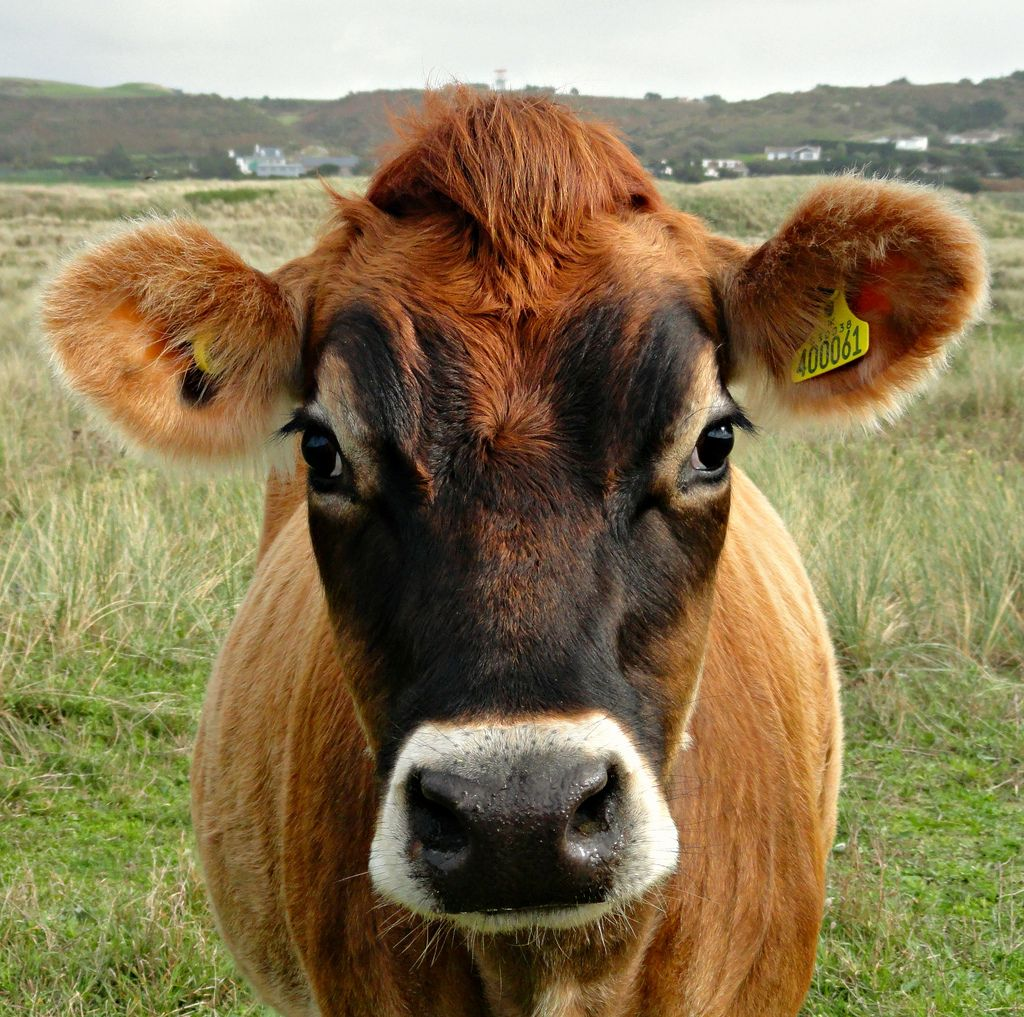 jersey cows Google Search Jersey cow, Cute cows, Cow