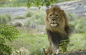 lion at the Bronx Zoo