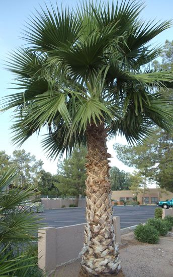 Mexican Fan Palm Mexican Palm Tree Palm Trees Palm